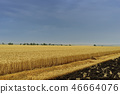 Yellow grain ready for harvest growing in a farm field 46664076
