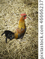 Real rooster on a farm 46666237