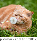 cat, blowball, kitty 46669017