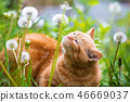 little red kitten lying on the dandelion field 46669037