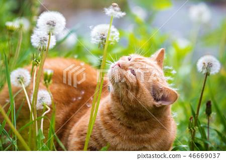 little red kitten lying on the dandelion field 46669037