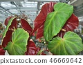 Rhizome begonia red leaf up 46669642