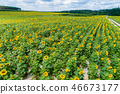 Beautiful sunflower field, aerial view 46673177