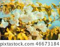 Bougainvillea white against blue sky 46673184