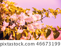 Bougainvillea white against pink sky 46673199