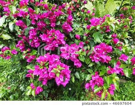 花果植物 46697604