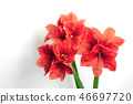 Three coral amaryllis in vase on white background. 46697720