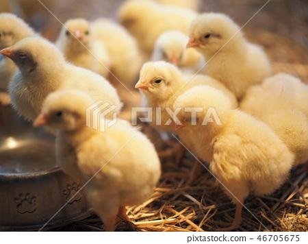 很多小雞 46705675