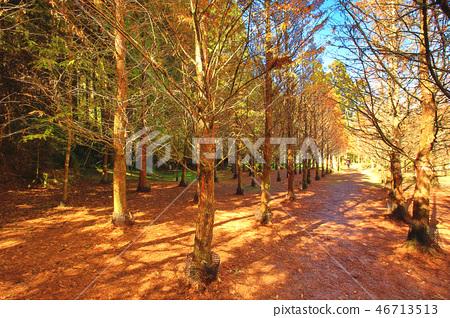 秋景中的變色水杉 46713513