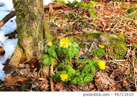 사려니숲길 ,눈, 복수초,봄, 46721610
