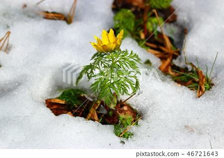 사려니숲길 ,눈, 복수초,봄, 46721643