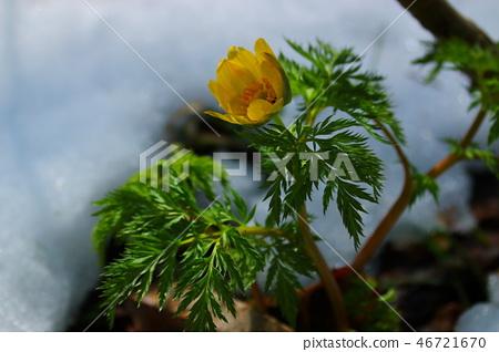 사려니숲길 ,눈, 복수초,봄, 46721670