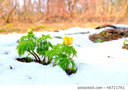 복수초,눈,사려니숲길, 46721761