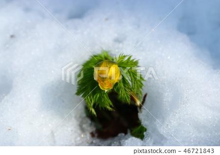 복수초,눈,사려니숲길, 46721843