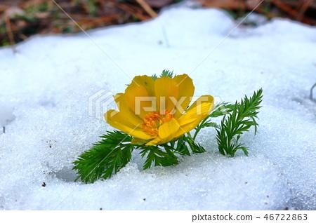 복수초,사려니숲길,눈, 46722863