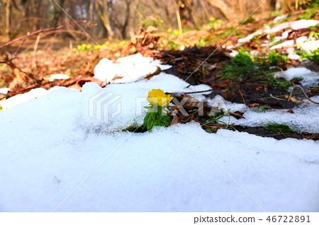 복수초,사려니숲길,눈, 46722891