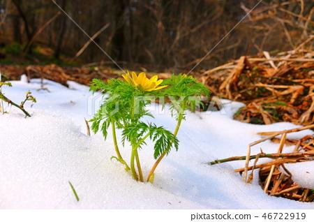 복수초,사려니숲길,눈, 46722919