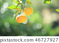 橘子 46727927
