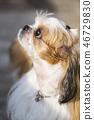 Pet, dog, dog, pet, dog, puppy, shichu, lovely dog, 46729830