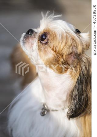 寵物,狗,狗,寵物,狗,小狗,shichu,可愛的狗, 46729830