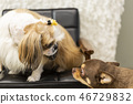 Pet, dog, dog, two dogs, facing dog, pet, dog, sechu, chihuahua, dog staring at each other 46729832