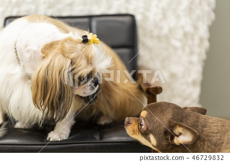 寵物,狗,狗,兩隻狗,面對狗,寵物,狗,sechu,奇瓦瓦州,狗盯著對方 46729832