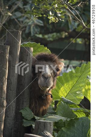 骆驼 46729938