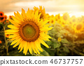 Field of sunflowers . Close up of sunflower 46737757