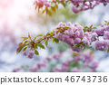 Pink sakura flowers on spring cherrys twigs 46743736
