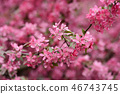 Pink sakura flowers on spring cherrys twigs 46743745