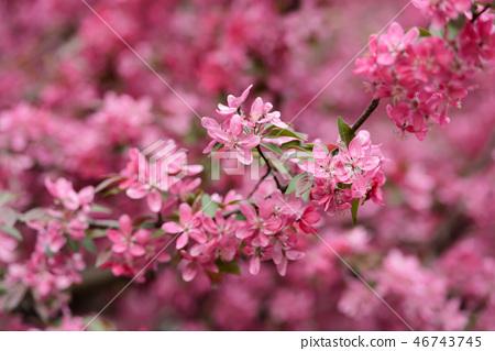 Pink sakura flowers on spring cherrys twigs 46743745
