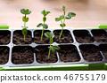 Self-sufficient homegrown organic Sugar peas 46755179