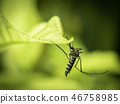 Close up of Aedes Aegypti Mosquito 46758985