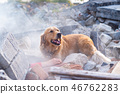 Dog looking for injured people in ruins. 46762283