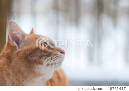 Side Of Ginger Cat Looking Something 46763457