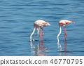 Rosy Flamingo colony in Walvis Bay Namibia 46770795
