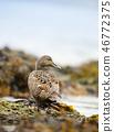 waterfowl anatidae duck 46772375