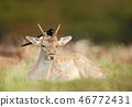 fallow, deer, wildlife 46772431