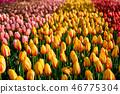 Blooming tulips flowerbed in Keukenhof flower garden, Netherland 46775304