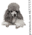 Young toy poodle on white banner 46777777