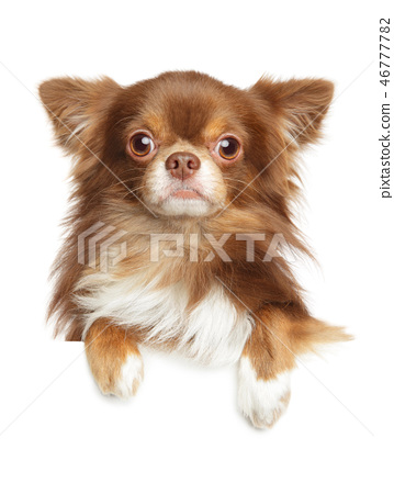 Close-up portrait of a Longhaired Chihuahua dog 46777782