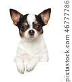 Portrait of a young Chihuahua dog above banner 46777786