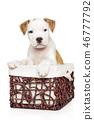 Cute white Amstaff puppy in wicker basket 46777792