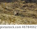 raccoon dog 46784662