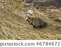raccoon dog 46784672