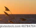 Reed flowers by a golden sky 46784764