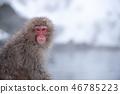 온천에 잠기 원숭이 스노우 몽키 46785223