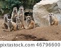 group of suricata animals 46796600