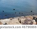琵琶湖 野生鳥類 野鳥 46796866