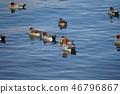lake biwa, wild bird, shorebird 46796867